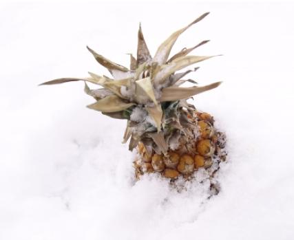 Ananas - Ein süßes Früchtchen